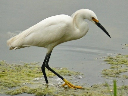 Name:  egret.jpg