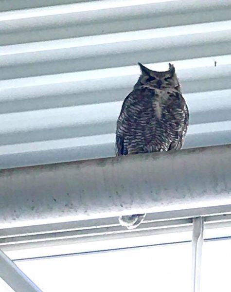 She's Back!-lowes-owl.jpg