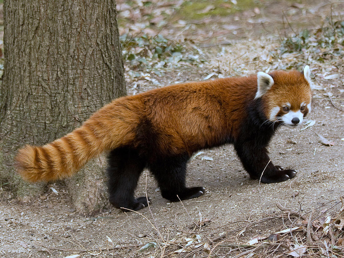What to Lubricant the wheel bears with?-red-panda.jpg